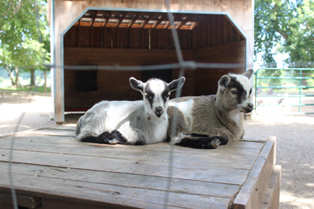 Baby Goats at Morden's Petting Zoo