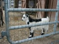 Billy the baby Goat